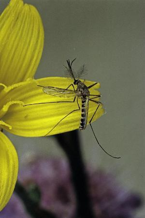 paul-starosta-culex-pipiens-common-house-mosquito-on-a-flower