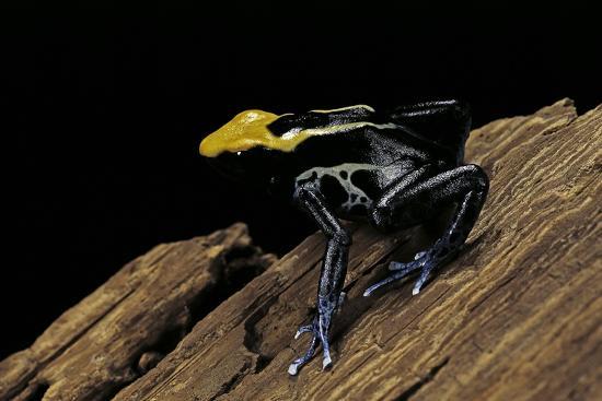 paul-starosta-dendrobates-tinctorius-f-brazil-dyeing-poison-dart-frog