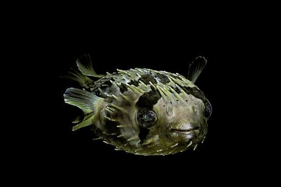 paul-starosta-diodon-holocanthus-longspined-porcupinefish-freckled-porcupinefish