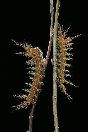 paul-starosta-dirphia-tarquinia-moth-caterpillars