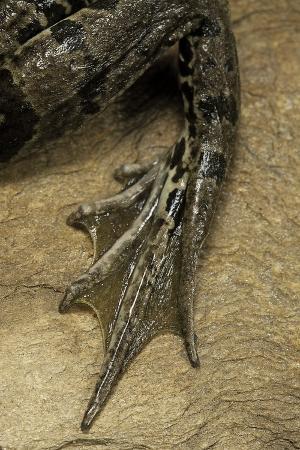 paul-starosta-edible-frog-webbed-foot