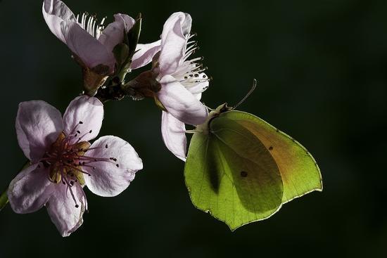 paul-starosta-gonepteryx-cleopatra-cleopatra-butterfly