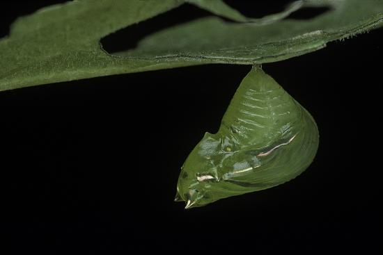paul-starosta-greta-oto-glasswinged-butterfly-pupa