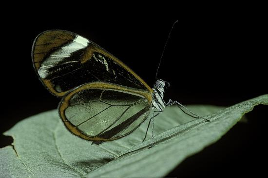 paul-starosta-greta-oto-glasswinged-butterfly