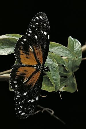 paul-starosta-heliconius-atthis-male-x-heliconius-hecale-female-longwing-butterfly