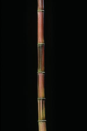 paul-starosta-himalayacalamus-hookerianus-damarapa-blue-bamboo