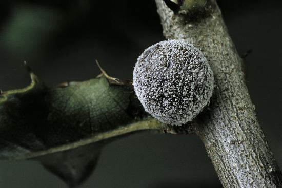 paul-starosta-kermes-vermilio-kermes-berry-female