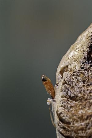 paul-starosta-mantis-religiosa-praying-mantis-hatching