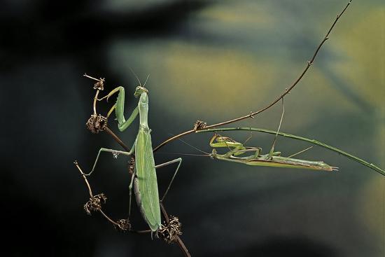 paul-starosta-mantis-religiosa-praying-mantis-male-with-female
