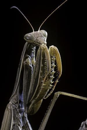 paul-starosta-mantis-religiosa-praying-mantis