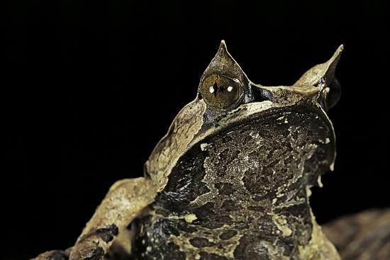 paul-starosta-megophrys-nasuta-malayan-horned-frog-long-nosed-horned-frog-malayan-leaf-frog