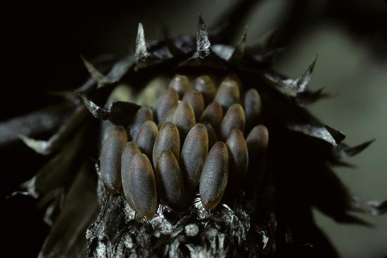 paul-starosta-melasoma-populi-broad-shouldered-leaf-beetle-balsam-poplar-leaf-beetle-eggs