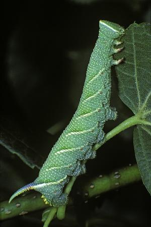 paul-starosta-mimas-tiliae-lime-hawk-moth-caterpillar