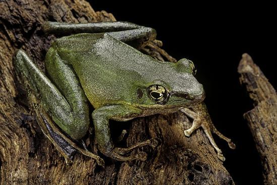 paul-starosta-odorrana-hosii-poisonous-rock-frog
