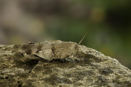 paul-starosta-oedipoda-caerulescens-blue-winged-grasshopper