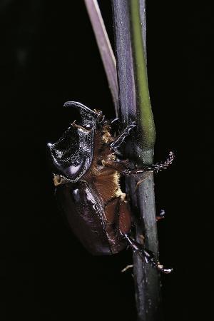 paul-starosta-oryctes-nasicornis-rhinoceros-beetle-male