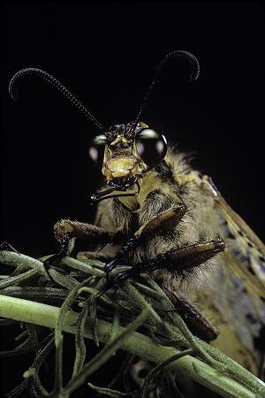 paul-starosta-palpares-libelluloides-antlion