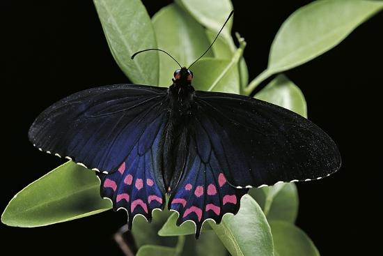 paul-starosta-parides-photinus-pink-spotted-cattleheart