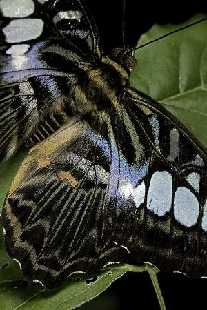 paul-starosta-parthenos-sylvia-clipper-butterfly-wings-detail