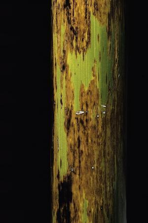 paul-starosta-phyllostachys-nigra-boryana-panther-bamboo