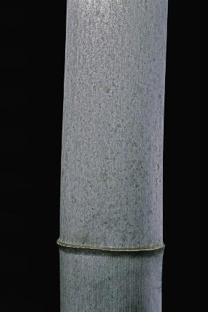 paul-starosta-phyllostachys-pubescens-moso-bamboo