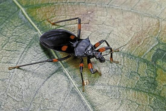 paul-starosta-platymeris-rhadamanthus-red-spot-assassin-bug