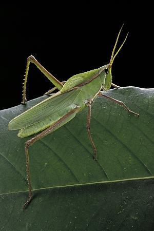 paul-starosta-prionolopha-serrata-serrate-lubber-grasshopper