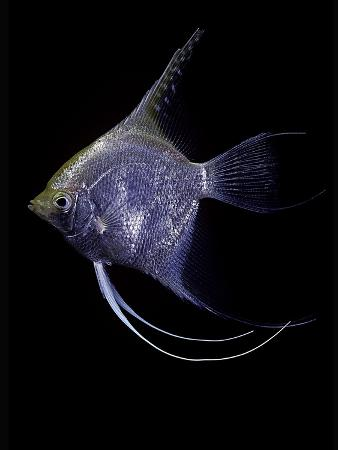 paul-starosta-pterophyllum-scalare-angelfish-freshwater-angelfish