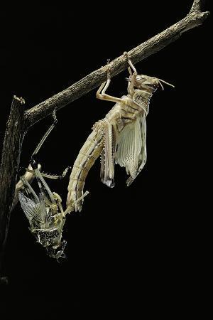 paul-starosta-schistocerca-gregaria-desert-locust-emerging