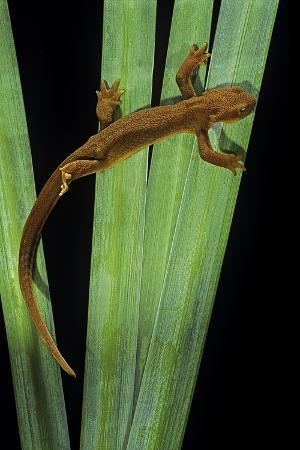 paul-starosta-taricha-granulosa-rough-skinned-newt