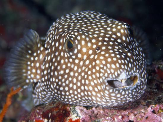 paul-sutherland-close-portrait-of-a-spotted-puffer-fish
