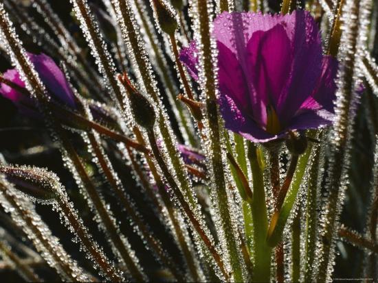 paul-zahl-close-up-of-a-byblis-plant