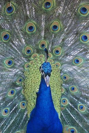 peacock-displaying-feathers-close-up