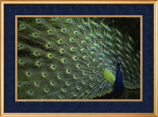 peacock-with-feathers
