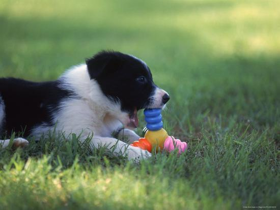peggy-koyle-border-collie-puppy-playing-with-toy