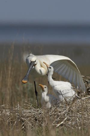 peltomaeki-spoonbill-platalea-leucorodia-stretching-wing-at-nest-with-two-chicks-texel-netherlands-may