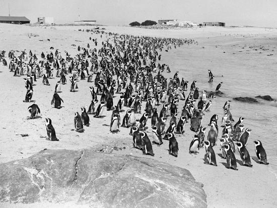 penguins-on-the-beach-at-dassen-island-off-the-coast-of-south-africa-1935