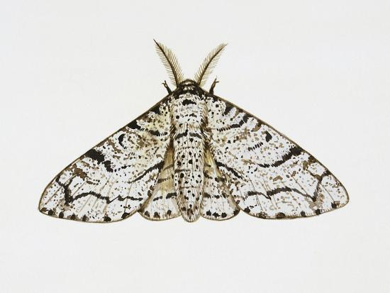 peppered-moth-biston-betularia-geometridae