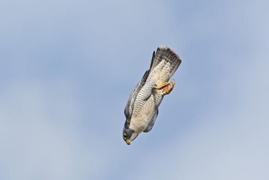 peregrine-falcon-adult-in-flight