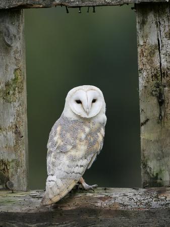 pete-cairns-barn-owl-in-old-farm-building-window-scotland-uk-cairngorms-national-park