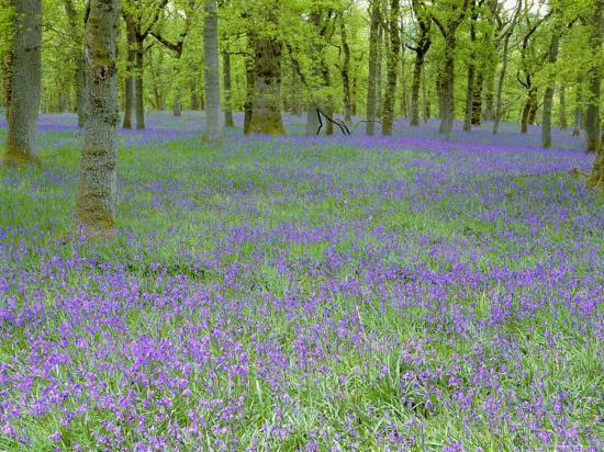 pete-cairns-bluebells-flowering-in-beech-wood-perthshire-scotland-uk