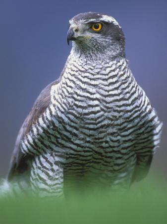pete-cairns-northern-goshawk-male-close-up-scotland