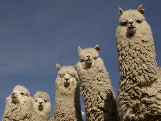pete-oxford-alpacas-andes-ecuador