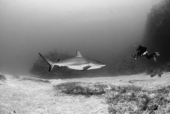 pete-oxford-caribbean-reef-shark-and-diver-jardines-de-la-reina-national-park