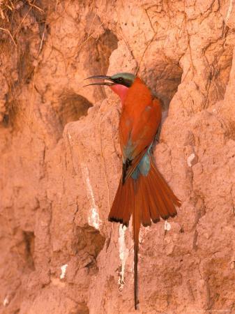 pete-oxford-carmine-bee-eater-okavango-delta-botswana