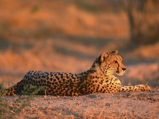 pete-oxford-cheetah-at-sunset-okavango-delta-botswana