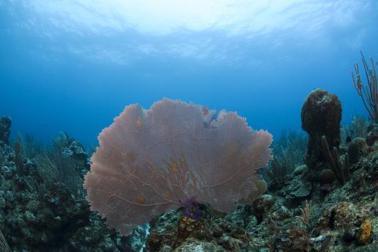 pete-oxford-common-sea-fan-ambergris-caye-belize