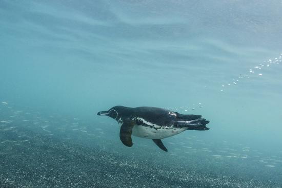 pete-oxford-galapagos-penguin-spheniscus-mendiculus-galapagos-islands-ecuador