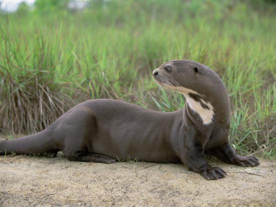 pete-oxford-giant-otter-guyana