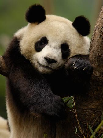 pete-oxford-giant-panda-family-wolong-china-conservation-and-research-center-for-the-giant-panda-china